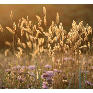 Papiers peints > Fleurs > Prairie