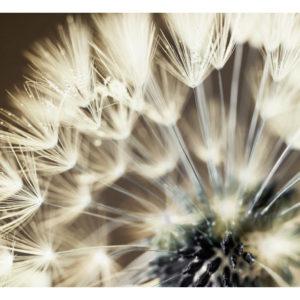 Papiers peints > Fleurs > Pissenlits