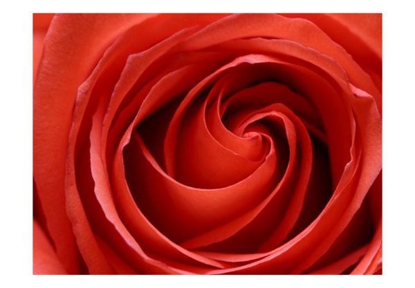 Papiers peints > Fleurs > Roses